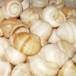 Coquilles d'escargots